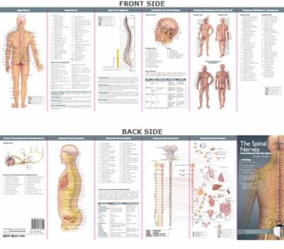 The Spinal Nerves & the Autonomic Nervous System 9780781776844