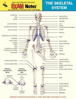 Skeletal System Anatomy Exam Notes