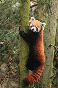 An Adorable Red Panda (Ailurus fulgens) Climbing a Tree Journal: 150 Page Lined Notebook/Diary