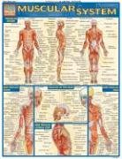 Muscular System Laminate Reference Chart By Vincent Perez Rich