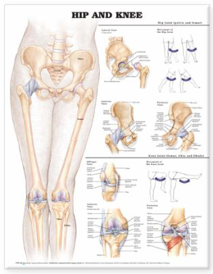 Hip and Knee Anatomical Chart 9781587798658