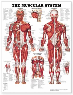 Muscular System 9781587790355