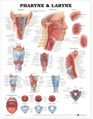 Pharynx & Larynx Anatomical Chart 9781587791802
