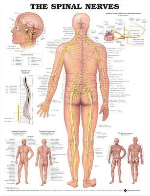 Spinal Nerves 9781587792052