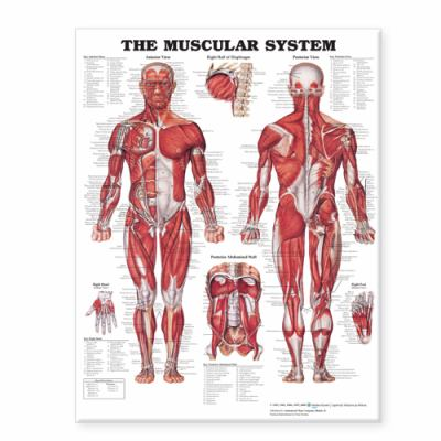 The Muscular System Giant Chart 9781587799815