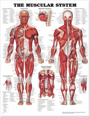 The Muscular System Anatomical Chart 9781587790362
