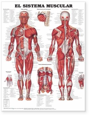 The Muscular System Anatomical Chart in Spanish (El Sistema Muscular) 9781587799952