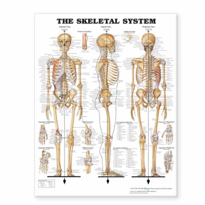 The Skeletal System Giant Chart 9781587799822