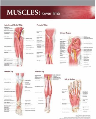 Muscles: Lower Limb 9781605471051