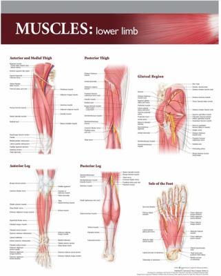 Muscles: Lower Limb by Lippincott Williams &. Wilkins, Anatomical ...