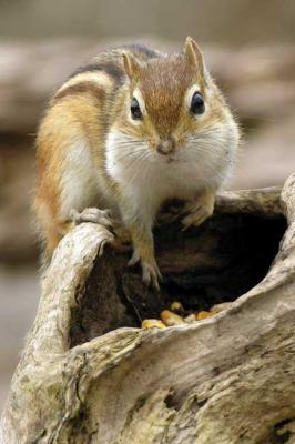 Chipmunk Journal 9781932472608