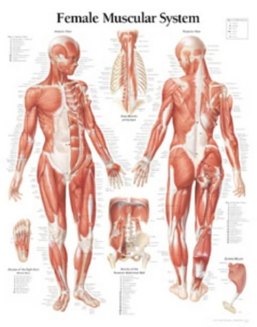 Muscular System Female Chart: Wall Chart 9781930633049