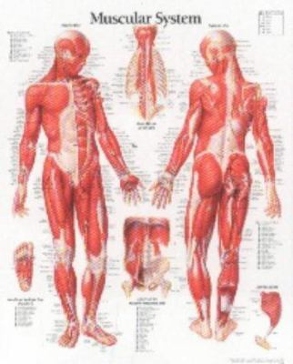 Muscular System Male Chart: Laminated Wall Chart 9781930633032