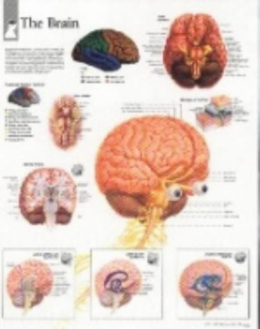 The Brain Chart: Wall Chart 9781930633261