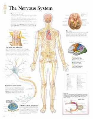 The Nervous System Chart: Laminated Wall Chart 9781932922080