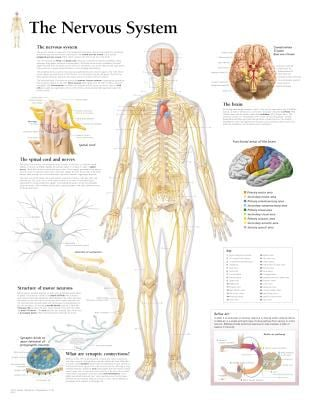 The Nervous System Chart: Wall Chart 9781932922097