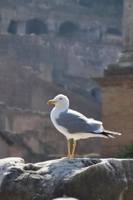A Seagull Standing Tall in Rome, Italy Journal: Take Notes, Write Down Memories in this 150 Page Lined Journal